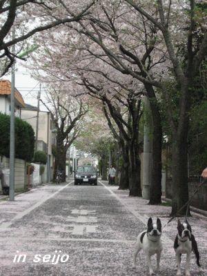 成城桜.jpg